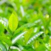 As melhores fragrâncias com o chá